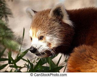 赤いパンダ, ailurus fulgens