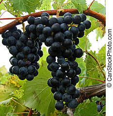 赤いブドウ, 上に, ∥, つる, 待つこと, へ, ありなさい, harvested.
