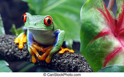 赤い目をしている, カエル, 木