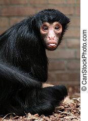 赤ら顔である, くも 猿