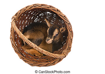 赤ん坊, バスケット, goat