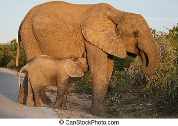 赤ん坊, 乳を飲む, 象