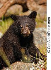 赤ん坊, 肖像画, アメリカの黒熊