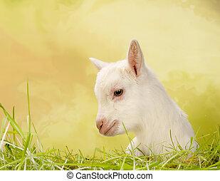 赤ん坊, 草, goat