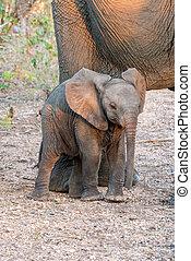 赤ん坊 象