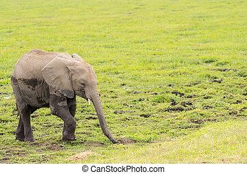 赤ん坊 象, 出て来ること, の, ∥, 沼地, 中に, ∥, サバンナ, の, amboseli, 公園, 中に,...