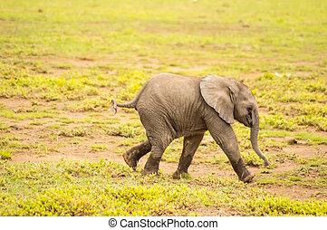 赤ん坊 象, 出て来ること, の, ∥, 沼地
