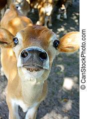 赤ん坊, 鼻, 子牛