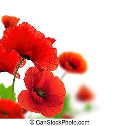 赤, ケシ, 上に, a, 白, バックグラウンド。, ボーダー, 花の意匠, ∥ために∥, ∥, 角度, の, page., クローズアップ, の, ∥, 花, ∥で∥, フォーカス, そして, ぼやけ, 効果