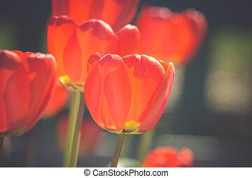 赤, チューリップ, 庭で