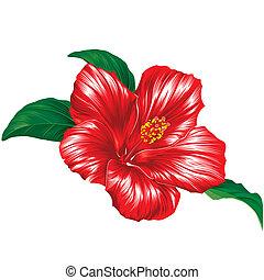 赤, ハイビスカス, 花, 白, 背景