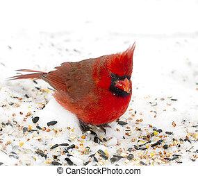 赤, 枢機卿, 中に, 雪