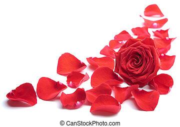 赤, 花弁, 隔離された, バラ