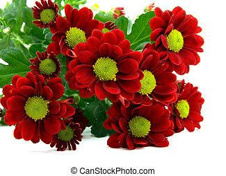 赤, 菊, 花束, 隔離された, 白