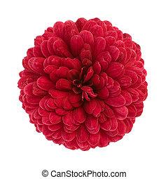 赤, 菊, 花