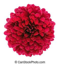 赤, 菊, 花, 隔離された