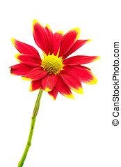 赤, 菊, 花, 隔離された, 白, 背景