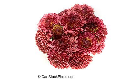 赤, 菊, 隔離された, 上に, a, 白い背景