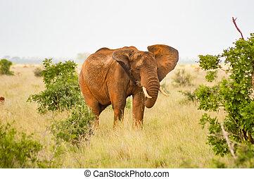 赤, 象, 隔離された, 中に, ∥, サバンナ, の, tsavo, 東公園, 中に, kenya