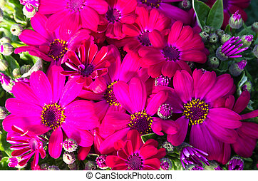 赤, cineraria, maritima, 花, 花で