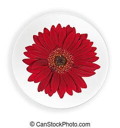 赤, gerbera, 花, 上に, プレート, 隔離された, 白, バックグラウンド。
