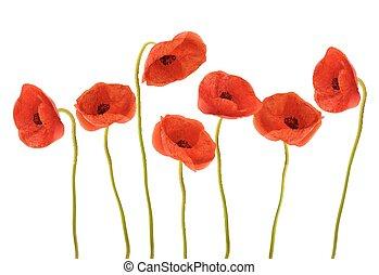 赤, poppies., 背景, vector., 自然