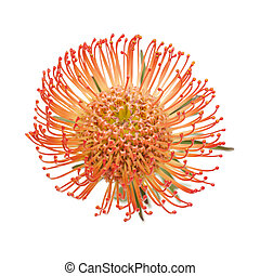 赤, protea, 隔離された