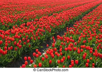 赤, tulipfields