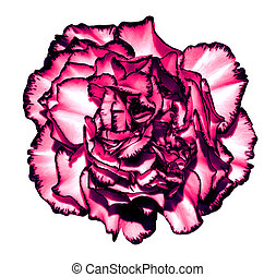 超現実的, 暗いピンク, クロム, ?love, 花, マクロ, 隔離された, 白