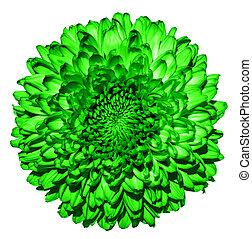 超現実的, 暗い緑, 菊, (golden-daisy), 花, マクロ, 隔離された, 白