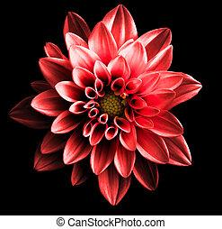 超現実的, 暗い, クロム, 赤い花, ダリア, マクロ, 隔離された, 上に, 黒