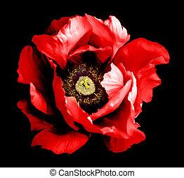 超現実的, 暗い, クロム, 赤, シャクヤク, 花, マクロ, 隔離された, 上に, 黒