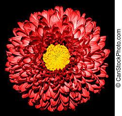 超現実的, 暗い, 赤, 菊, (golden-daisy), 花, ∥で∥, 黄色, 心, マクロ, 隔離された, 上に, 黒