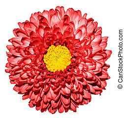 超現実的, 暗い, 赤, 菊, (golden-daisy), 花, ∥で∥, 黄色, 心, マクロ, 隔離された, 白