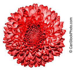 超現実的, 暗い, 赤, 菊, (golden-daisy), 花, マクロ, 隔離された, 白