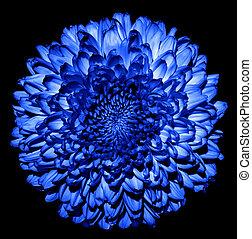 超現実的, 暗い 青, 菊, (golden-daisy), 花, マクロ, 隔離された, 上に, 黒