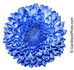 超現実的, 暗い 青, 菊, (golden-daisy), 花, マクロ, 隔離された, 白