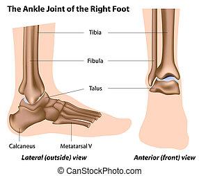 足首の接合箇所