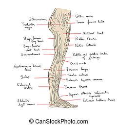 足, 筋肉, 側面, テキスト