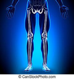 足, -, 解剖学, 骨