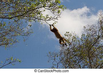跳躍, ホエザル, 中に, pantanal, ブラジル