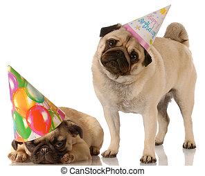 身に着けていること, かわいい, 帽子, パグ, 2, birthday, 背景, 白, 犬