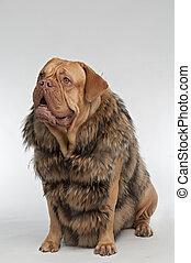 身に着けていること, アライグマ, 毛皮, 犬のコート