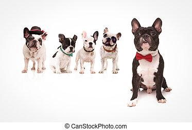 身に着けていること, ブルドッグ, 着席させる,  bowtie, フランス語, 前部, 犬, 赤