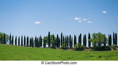 車道, 排列, 由于, 絲柏, 樹, 在, tuscany