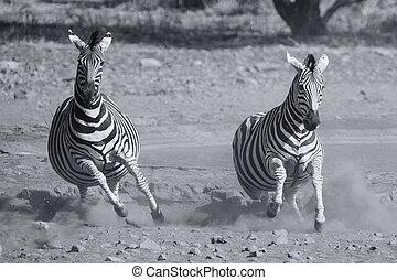 轉換, 出逃, 多塵, 危險, 牧群, zebra, waterhole, 藝術