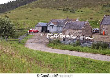 農場, スコットランド, goat