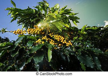 農場, ブラジル, プランテーション, コーヒー
