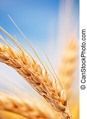 農場, 小麦, 耳