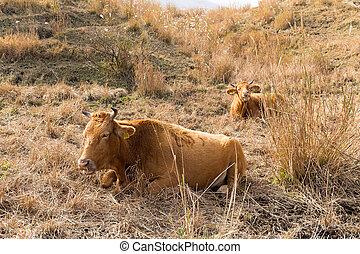 農場, 母牛